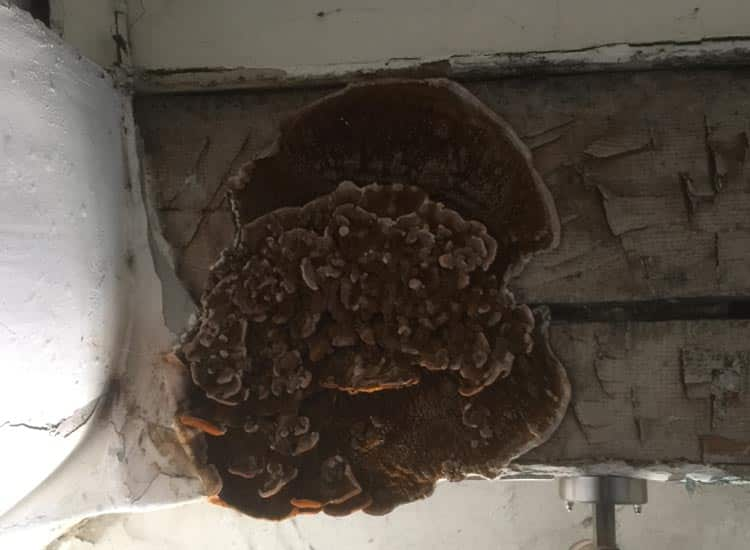 Wet rot fruiting body